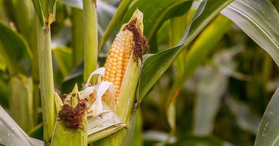 Corn crop.